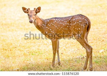 Deer in park near Prambanan, Yogyakarta,  Java, Indonesia - stock photo