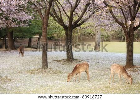 deer in Sakura - stock photo