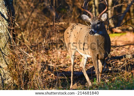 Deer in Shenandoah National Park - Virginia, United States of America - stock photo