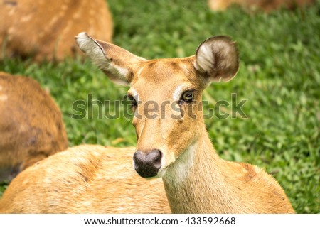 Deer in Thailand Zoo.