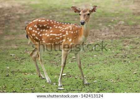 Deer in the forest Thailand