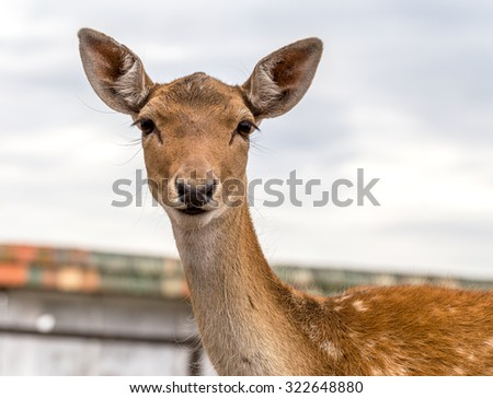 Deer in the paddock on a farm  - stock photo