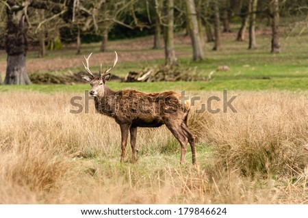 Deer in the richmond park - stock photo
