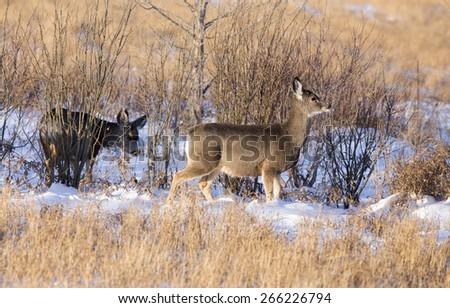 Deer in winter in Saskatchewan Canada scenic - stock photo