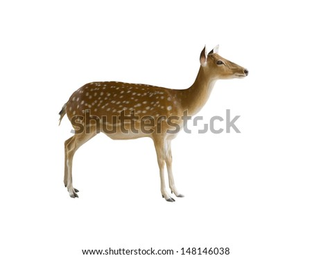 Deer isolated on white background - stock photo