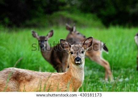 Deer laying down in a field, looking at camera. More deer visible in background.
