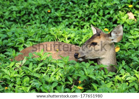 Deer looking and asleep in some grass