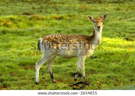 deer looking at you, standing on lushes green grass
