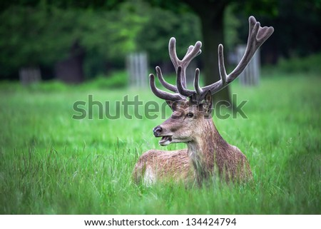 Deer lying on the meadow - stock photo