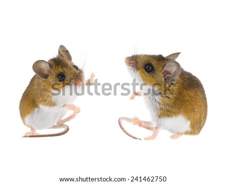 Deer Mouse Sitting - Peromyscus Field Mice High Five - stock photo