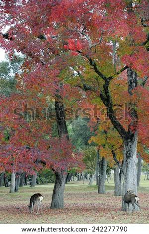 Deer of Nara Park in autumn season - stock photo