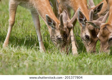 deer on a meadow - stock photo