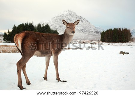 Deer on a Scottish snow covered landscape - stock photo