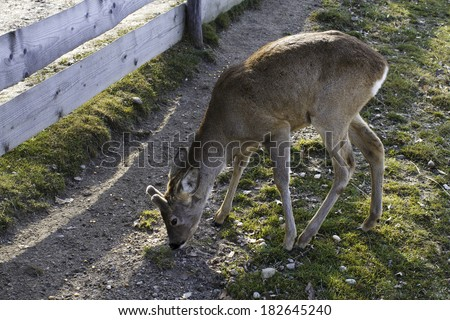 Deer on the farmland - stock photo