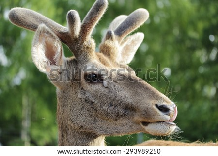 Deer  on the grass and forest background