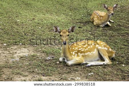 Deer patterned spots deer In nature - stock photo