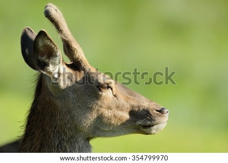 Deer Portrait - stock photo