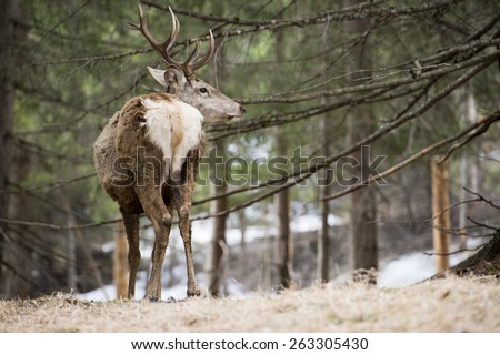 Deer portrait on the snow and forest background