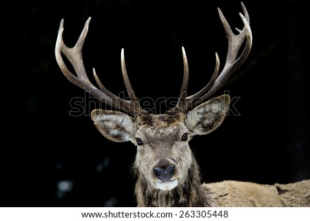 Deer portrait on the snow and forest background - stock photo