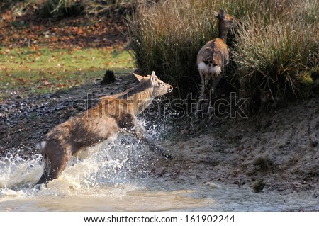 Deer run in river