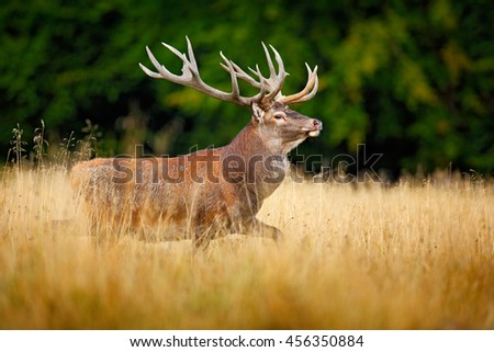 Deer running in forest. Red deer stag, bellow majestic powerful adult animal outside autumn forest. Big animal in the nature forest habitat, England. Wildlife scene from nature. Deer with big antlers - stock photo