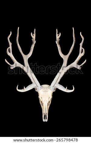 deer skull isolated on black background with clipping path - stock photo