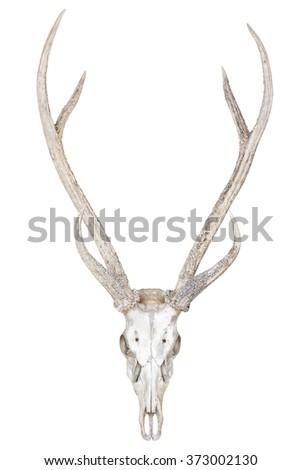 Deer skull isolated on white background - stock photo