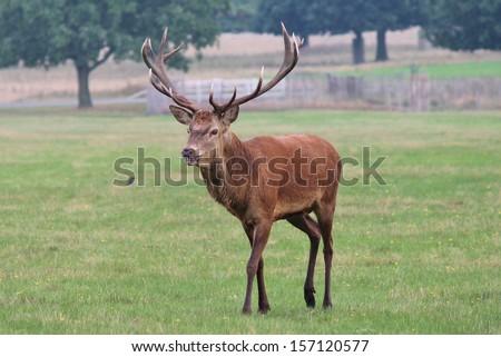 stock-photo-deer-stag-walking-across-fie