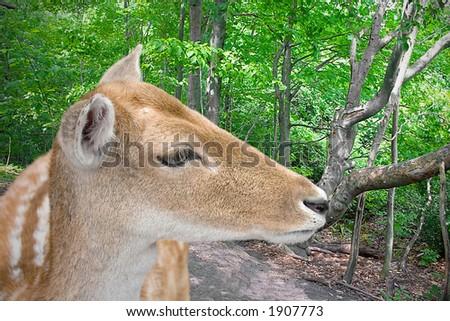 Deer standing in the woods - stock photo
