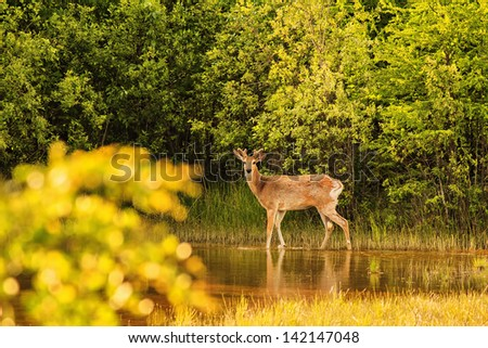 Deer standing on waters edge with legs reflecting in the water,