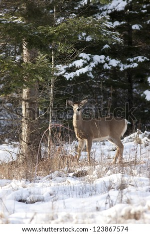 Deer stands by tree in winter near Hayden Lake, Idaho.