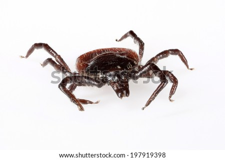 Deer tick (Ixodes ricinus) specimen - angled front - side view, isolated on white - stock photo
