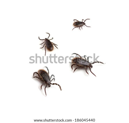 Deer Ticks (Ixodes scapularis) - stock photo