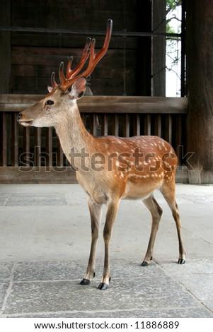 Deer - Todaiji Ancient Temple, Nara, Japan - stock photo