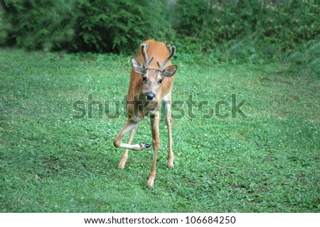 deer with broken leg
