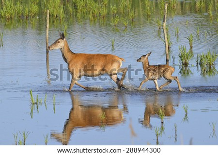 Deer with cub crossing a lake - stock photo