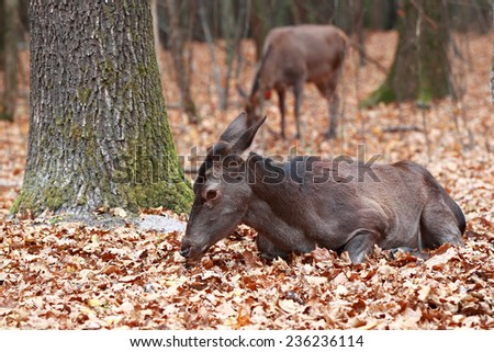 Deer with their heads down lying in the woods on a background of other deer - stock photo