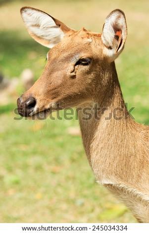 Deers as seen in a farm standing on glass field - stock photo