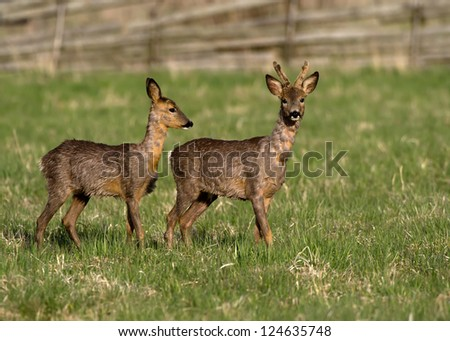 Deers, in springtime the roebuck with his goat searching for early vegetable. Uppland, Sweden - stock photo