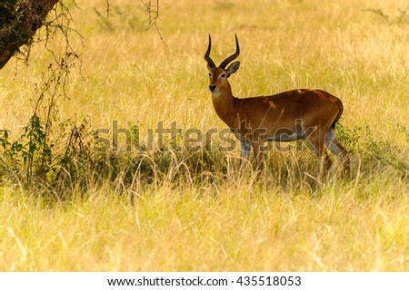 Deers  in the grass, Uganda, Africa