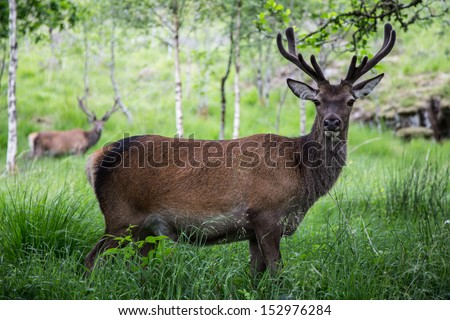 Deers in the Scottish Highlands - stock photo