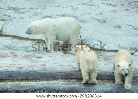 Defecating white polar bear with two cubs.