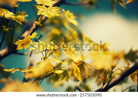 Defocus background with autumn leaves on maple tree. Tonal correction. - stock photo