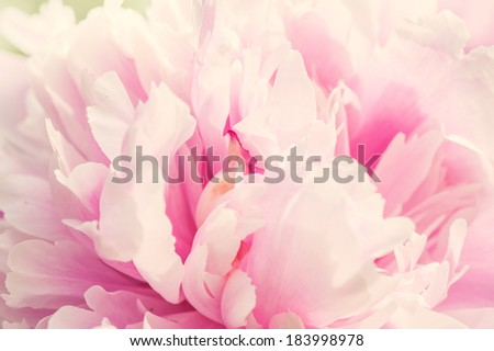 Defocus floral background Closeup view of peony flower  - stock photo