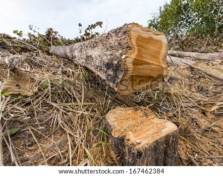Deforestation concept and when a tree falls in a forest that is being cut down for development as an icon for environmental damage and problems in the conservation of the rain forest