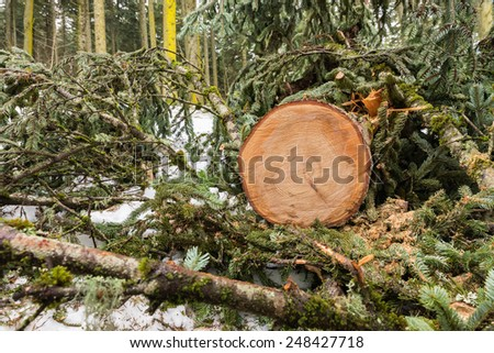 Deforestation concept ; pine tree log in the forest with branches cut around.   - stock photo