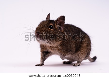 Degu/Degu squirrel