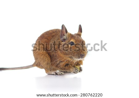 Degu eating pet food.