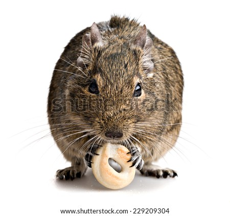 degu mouse gnawing baking isolated on white background - stock photo