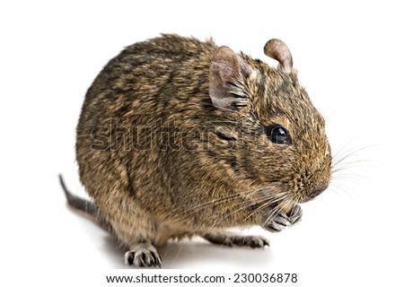 degu mouse with food in paws closup isolated on white background - stock photo